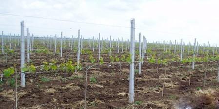 столбы под рабицу и виноград